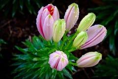 kolorowe lilie obraz royalty free