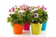 kolorowe ogrodowe petunie Fotografia Stock