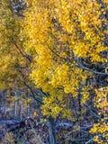 Kolorowe osiki w Lee Vining fotografia royalty free