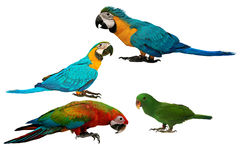 Kolorowe papugi odizolowywać na białym tle Obraz Stock
