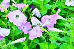 Kolorowe petunie zdjęcie royalty free