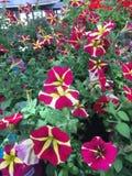 kolorowe pola kwiatów Fotografia Stock
