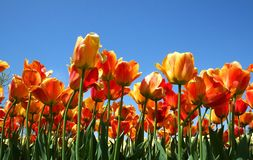 kolorowe pomarańczowej czerwonym tulipanów Fotografia Stock