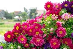 Kolorowe purpurowe i różowe chryzantemy Obrazy Stock