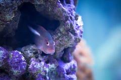 Kolorowe purpury i różowy tropikalny rybi dopłynięcie w purpurowej rafie koralowa Zdjęcia Stock