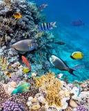 Kolorowe raf koralowa ryba morze Fotografia Royalty Free