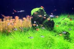 Kolorowe ryba w akwarium Zdjęcia Royalty Free
