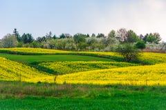 kolorowe wiosen łąki z żółtymi gwałtów polami zdjęcia stock