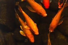 Kolorowego goldfish koi Japoński karp fotografia royalty free