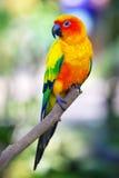 Kolorowego słońca ptasi obsiadanie na gałąź Zdjęcia Royalty Free