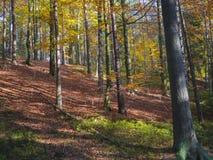 Kolorowej jesieni bukowego drzewa deciduous las z ziemią zakrywającą Fotografia Stock