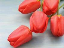 Kolorowej wiosny czerwony tulipan kwitnie na bławym drewnianym tle z kopii przestrzenią obraz royalty free