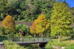 Kolorowej zimy Łysy Cyprysowy drzewo fotografia stock