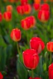 kolorowi śródpolni tulipany Fotografia Royalty Free