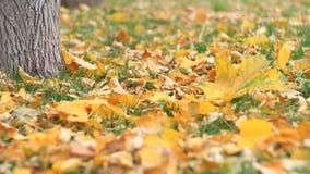 Kolorowi żółci pomarańczowi liście klonowi zamknięci up na zielonym gazonie Ciężcy wiatrów ciosy zbiory wideo