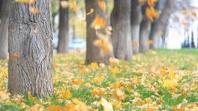 Kolorowi żółci pomarańczowi liście zamknięci up na zielonym gazonie, liście są fallng swobodny ruch zbiory