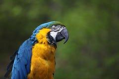 Kolorowi arony papuzi na zielonym tle Fotografia Royalty Free