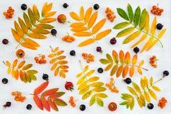 Kolorowi ashberry drzewo liście, jagody i dzikie różane owoc, fotografia royalty free