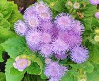 Kolorowi błękitni Ageratum Houstonianum floss kwiaty Fotografia Royalty Free