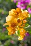 kolorowi bougainvillea kwiaty Zdjęcie Royalty Free