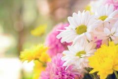 Kolorowi chryzantema kwiaty jak z powrotem mlejący Fotografia Stock