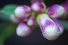 Kolorowi cytrusów pączki Zdjęcie Royalty Free
