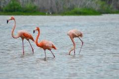 Kolorowi flamingi stoi w zatoczce meksykański atlantycki co zdjęcie stock
