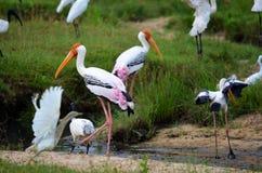 Kolorowi flamingi w ruchu, Srí Lanka Obrazy Royalty Free