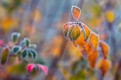 Kolorowi frosted liście w wczesnym chłodnym ranku jako tło zdjęcie royalty free