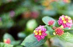 Kolorowi hybrydowi kwiaty są piękni obraz royalty free