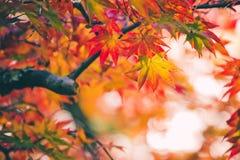 Kolorowi japońscy liście klonowi podczas momiji sezonu przy Kinkakuji ogródem, Kyoto, Japonia zdjęcia royalty free