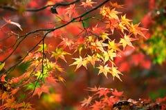 Kolorowi japońscy liście klonowi podczas momiji sezonu przy Kinkakuji ogródem, Kyoto, Japonia fotografia stock