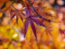 Kolorowi jesień liście zamknięci w górę 1 obrazy royalty free