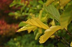 kolorowi jesień liść Fotografia Royalty Free