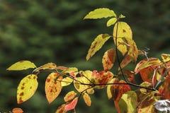 Kolorowi jesień liście na gałąź Zdjęcia Royalty Free