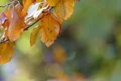 Kolorowi jesień liście na gałązce Obrazy Royalty Free