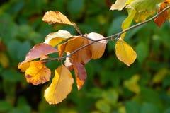 Kolorowi jesień liście na gałązce Fotografia Stock