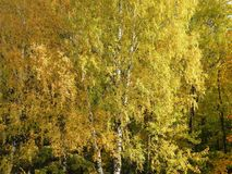 Kolorowi jesieni brzozy drzewa, Lithuania Fotografia Royalty Free