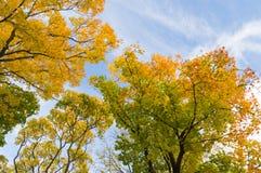 Kolorowi jesieni drzewa przeciw niebieskiemu niebu spod spodu Zdjęcia Stock