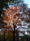 Kolorowi Klonowego drzewa liście w central park Obrazy Royalty Free