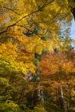 Kolorowi klonowi momiji liście przy Korankei Fotografia Royalty Free