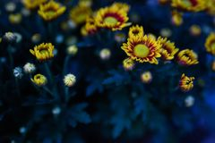 Kolorowi kolorów żółtych kwiaty cią różowawej pomarańcze obraz stock