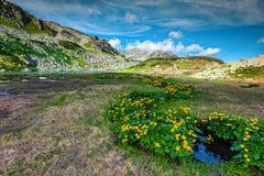 Kolorowi kolorów żółtych kwiaty i wysokogórski halny jezioro, Retezat góry, Rumunia Zdjęcia Stock