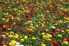 Kolorowi kwiaty Fotografia Royalty Free
