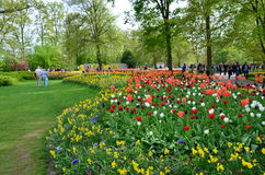 Kolorowi kwiaty i okwitnięcie w holenderskiej wiośnie uprawiają ogródek Keukenhof który jest światu kwiatu wielkim ogródem Zdjęcie Stock
