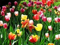Kolorowi kwiaty i tulipany zdjęcie stock