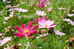 Kolorowi kwiaty kwitną zdjęcia royalty free