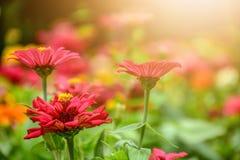 Kolorowi kwiaty są pogodni w ranku obrazy stock