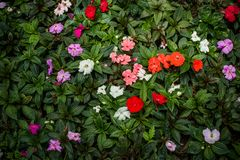 Kolorowi kwiaty w garnkach Fotografia Stock