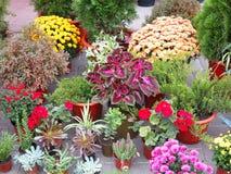 Kolorowi kwiaty w garnkach przy kwiatu sklepem Zdjęcia Royalty Free